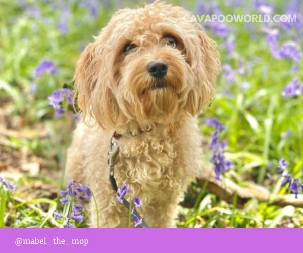 Cavapoo pros and cons: as answered by our interviewees
