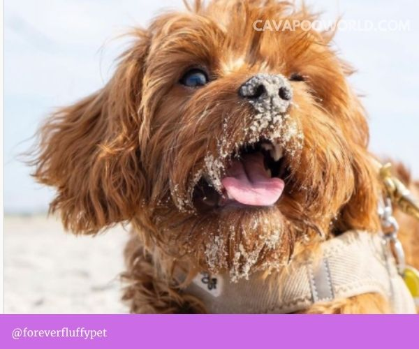 Your cavapoo may be losing its hair due to nutritional deficiencies