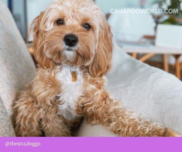 Cavapoo health: introduction