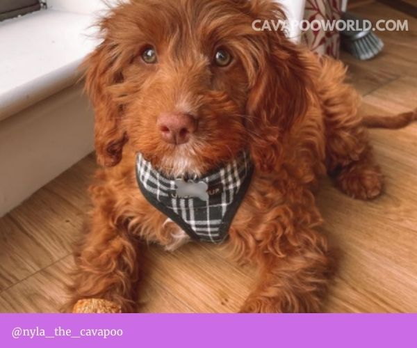 Cavapoo temperament: a small dog with a big personality