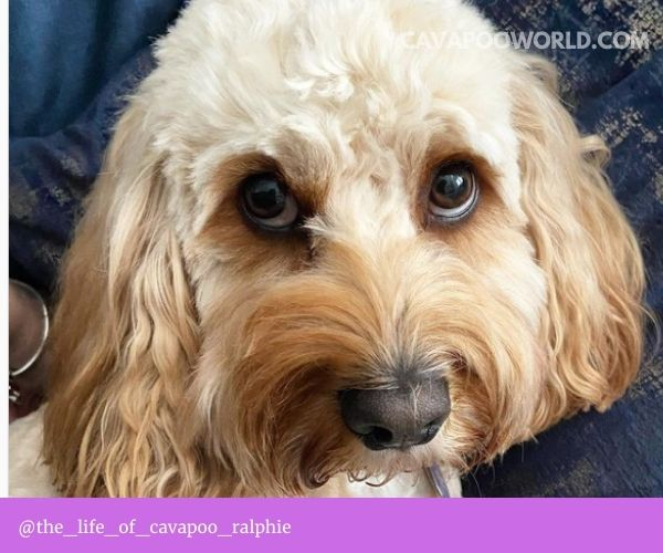Cavapoo temperament - affectionate and loving