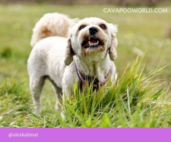 Cavapoo pros and cons - cute cavapoo