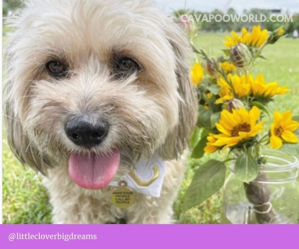 Cavapoo vs goldendoodle: what is a goldendoodle
