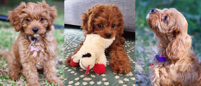 Cavapoo and everything about them