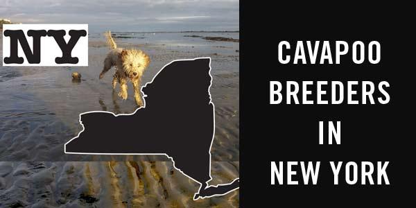 Cavapoo breeders NY