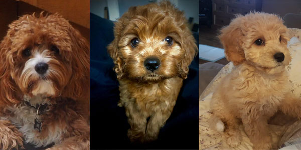 Cavapoo breeders in the UK