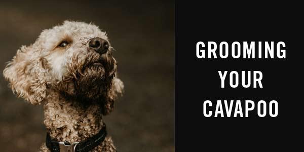 cavapoo grooming