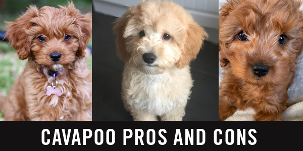 Cavapoo vs cockapoo: which dog is better for YOU? - Cavapoo World