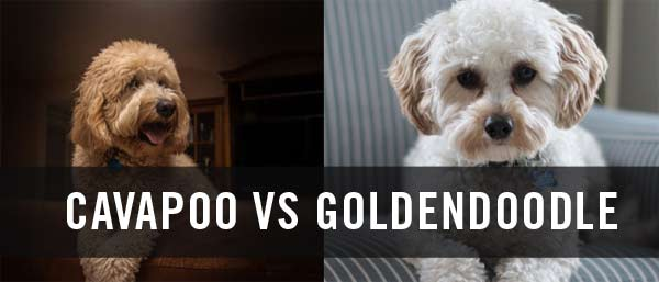 Cavapoo vs goldendoodle