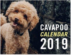 cavapoo calendar