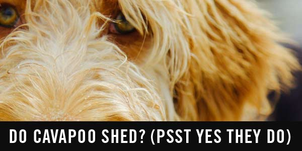 Do cavapoo shed and what to do about it - Cavapoo World