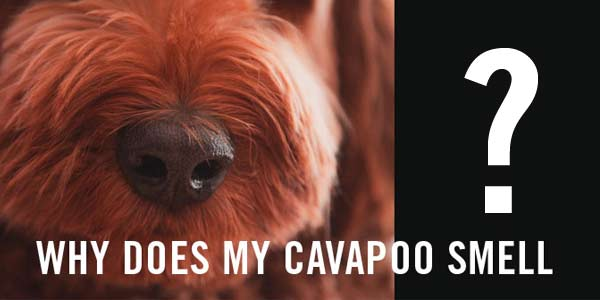 Why does my cavapoo smell?