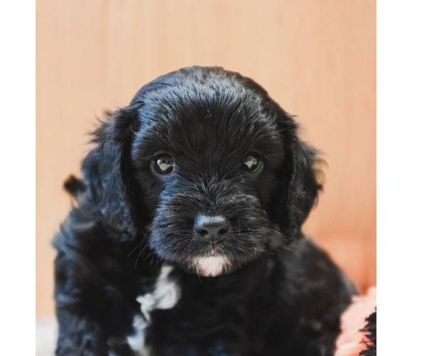 Before you contact a Cavapoo breeder