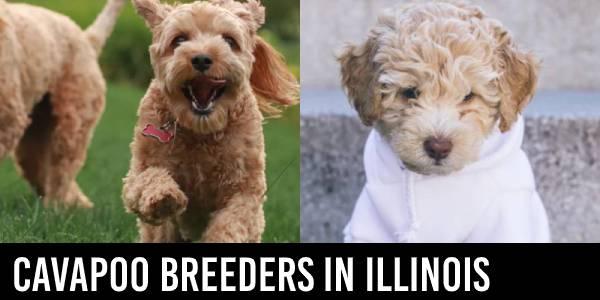 Cavapoo breeders in Illinois